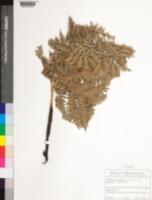 Pteridium aquilinum subsp. pubescens image