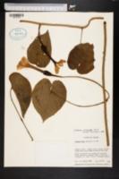 Image of Ipomoea macrantha