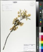 Sophora koreensis image