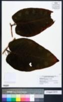 Polygonum sachalinense image