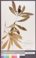 Pittosporum pentandrum image