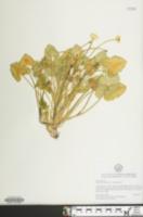 Image of Ficaria verna