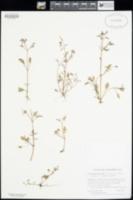 Image of Erythranthe laciniata