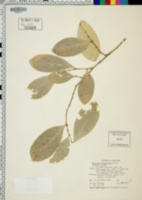 Image of Suregada lanceolata