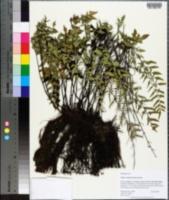 Pellaea viridis image