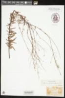 Oenothera filipes image