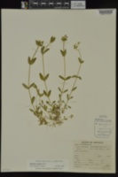 Cerastium fontanum image