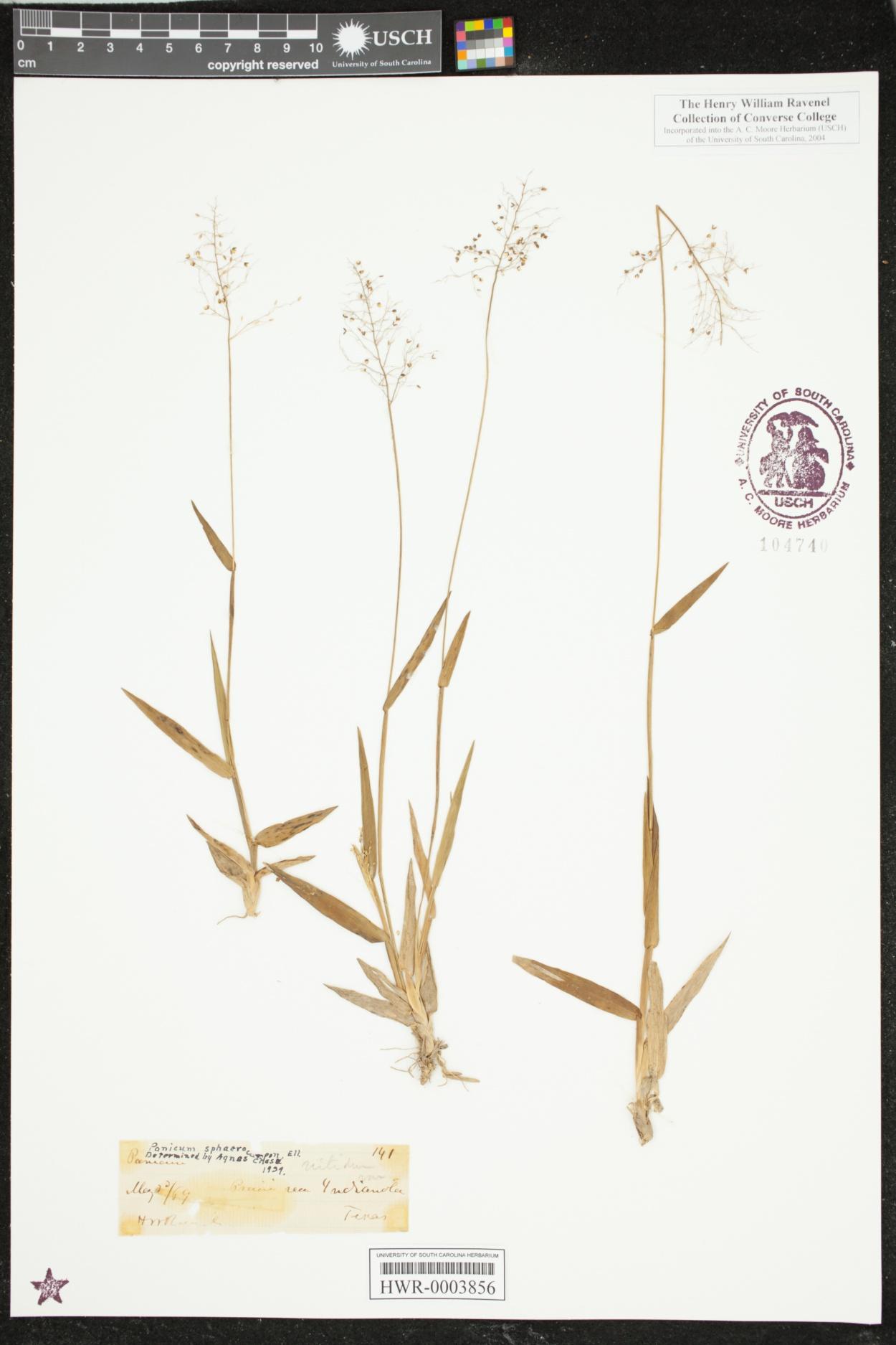 Dichanthelium dichotomum var. nitidum image