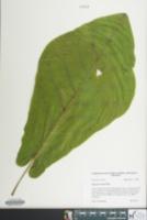 Image of Magnolia fraseri