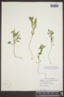 Melampyrum lineare var. latifolium image