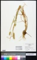 Cynosurus echinatus image