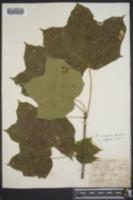 Acer nigrum image