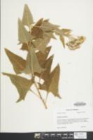 Hasteola suaveolens image