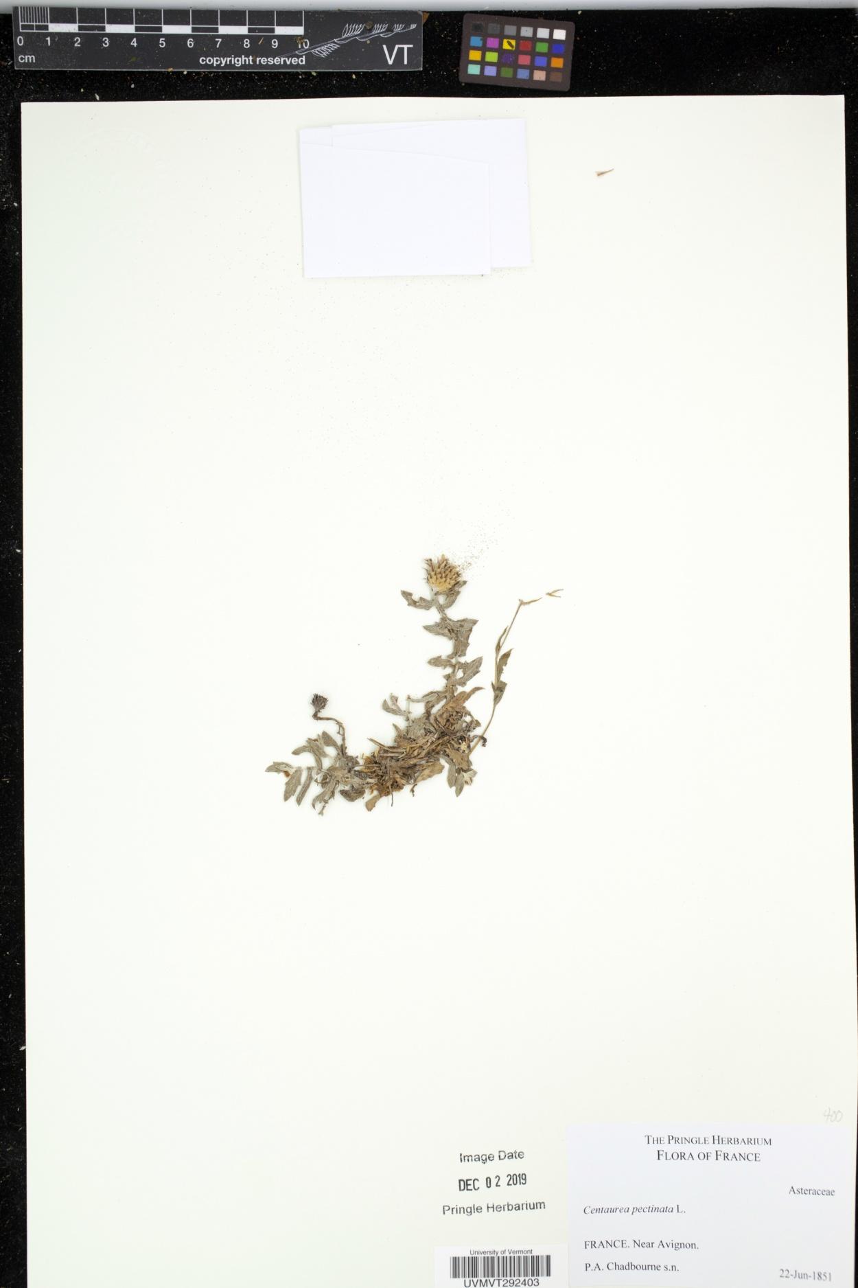 Centaurea pectinata image