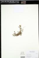 Image of Centaurea pectinata
