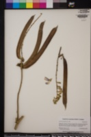 Canavalia ensiformis image