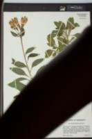 Alstroemeria psittacina image