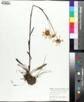 Image of Helenium brevifolium
