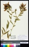 Mentzelia laevicaulis image