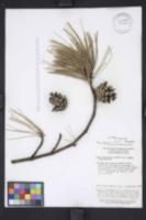 Image of Pinus henryi