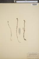 Image of Euphrasia condensata