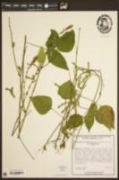 Desmodium cuspidatum var. cuspidatum image