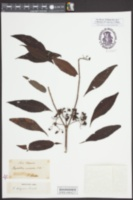 Image of Psychotria tenuifolia
