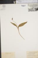 Image of Erythronium rostratum