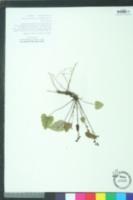 Synthyris cordata image