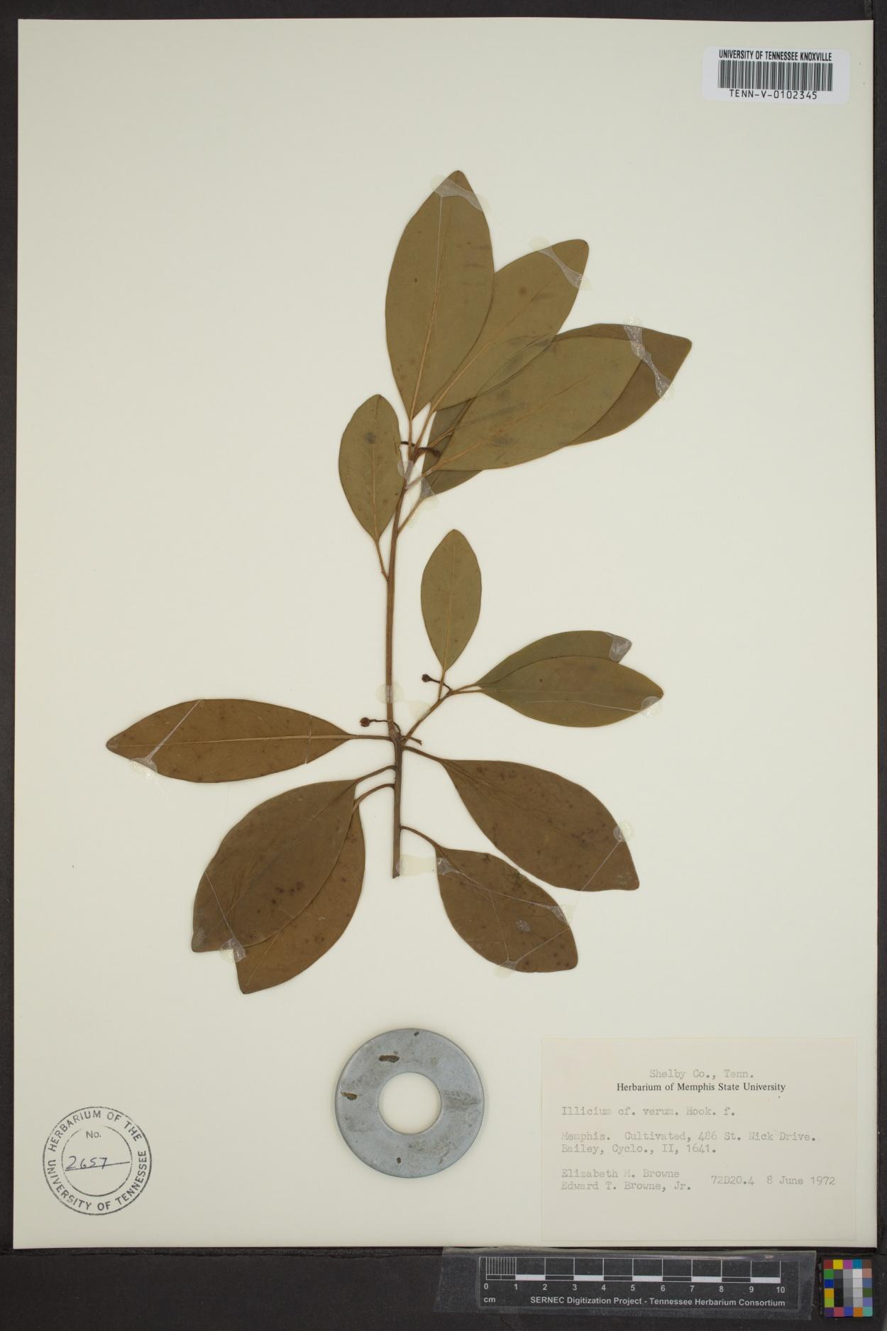 Illicium verum image