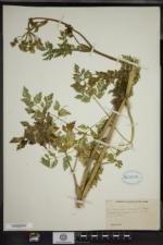 Conioselinum chinense image
