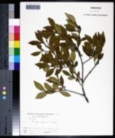 Eurya japonica image