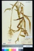 Dichanthelium scoparium image