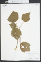 Acer carolinianum image