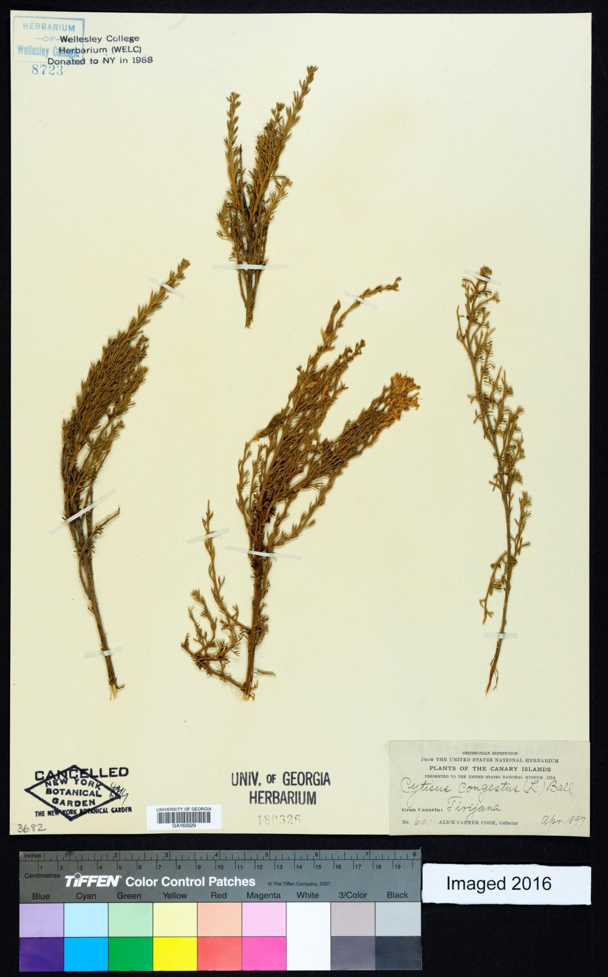 Genista microphylla image