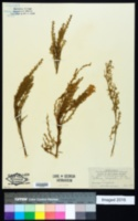 Image of Genista microphylla
