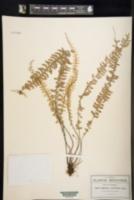 Asplenium sessilifolium image