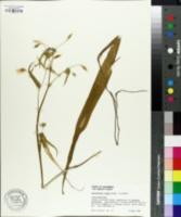 Image of Calochortus albus