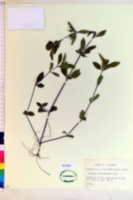 Ruellia caroliniensis subsp. ciliosa image