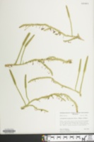 Image of Lycopodiella margueritae