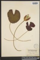 Nymphaea odorata subsp. tuberosa image