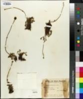Image of Acaena platyacantha