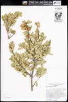 Quercus berberidifolia image