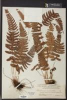 Blechnum occidentale image