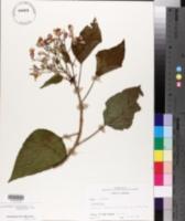 Clerodendrum trichotomum var. ferrugineum image