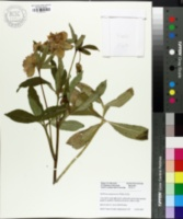 Helleborus purpurascens image