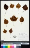 Image of Acer pycnanthum