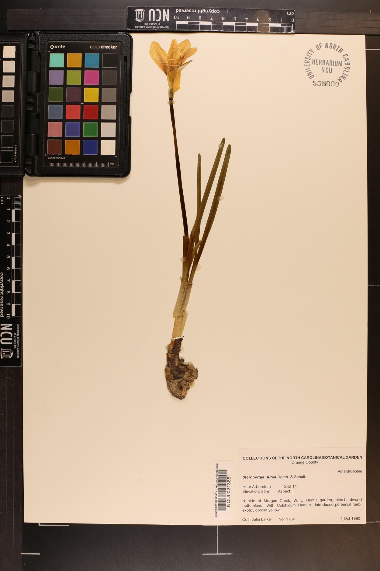 Sternbergia lutea image