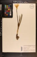 Image of Sternbergia lutea