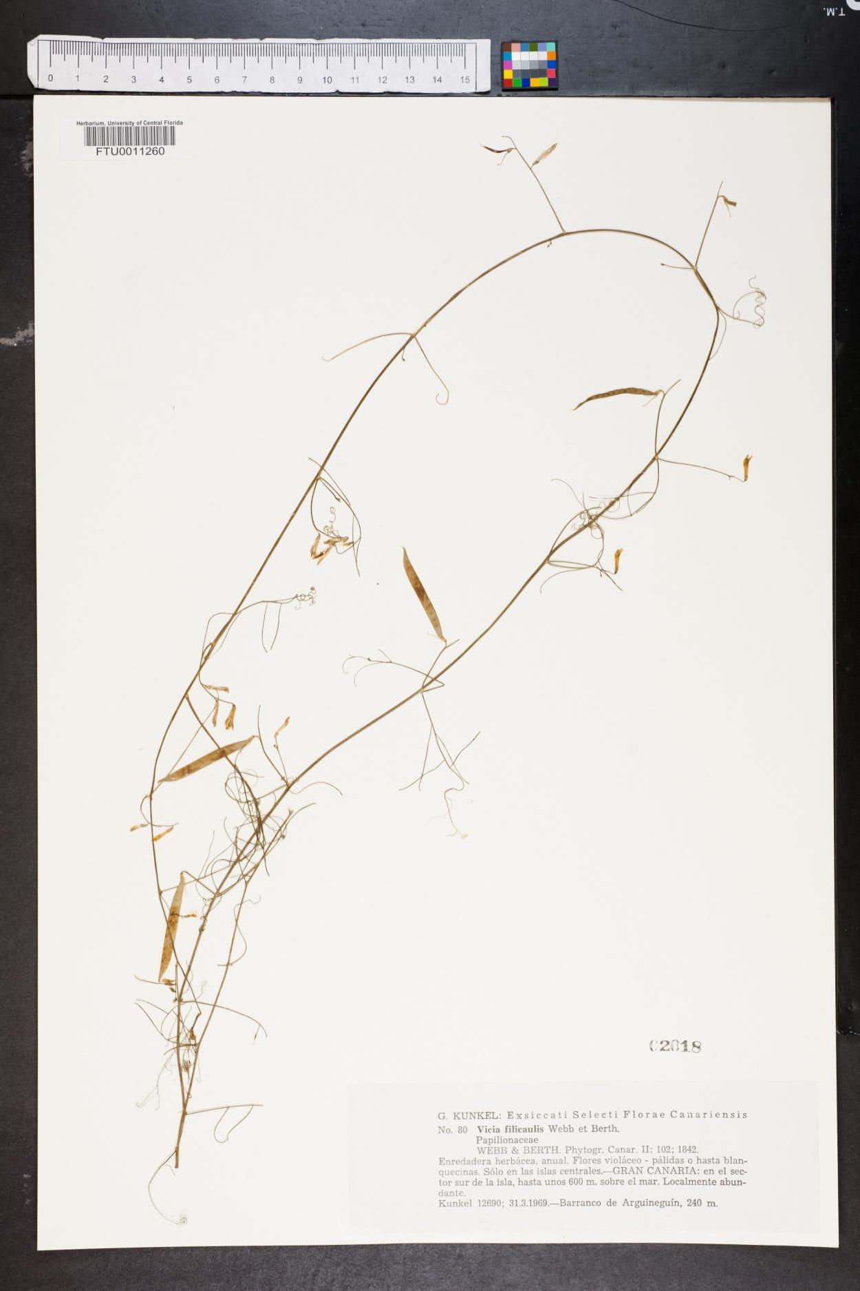 Vicia filicaulis image